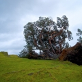 llanfyllin-lonely-tree-fallen-1