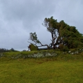 llanfyllin-lonely-tree-fallen-2