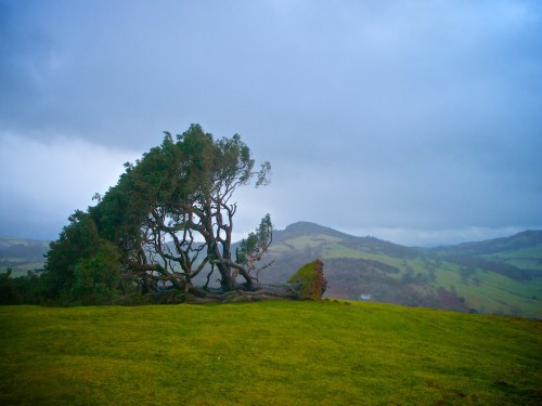 Llanfyllin Lonely Tree fallen in high winds