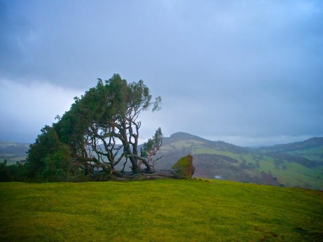 Llanfyllin Lonely Tree fallen in high winds